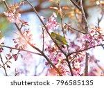 beautiful bird chestnut...   Shutterstock . vector #796585135