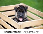 Stock photo two german shepherd puppies playing on the grass 796596379