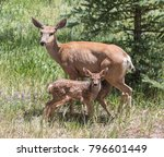 lunch break   a mule deer doe... | Shutterstock . vector #796601449