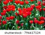 red tulips in the garden | Shutterstock . vector #796617124