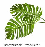 monstera deliciosa leaf or... | Shutterstock . vector #796635754