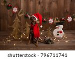dog russian toy terrier.... | Shutterstock . vector #796711741