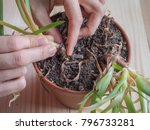 the decay of roots of plants.... | Shutterstock . vector #796733281