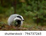 european badger  autumn pine... | Shutterstock . vector #796737265