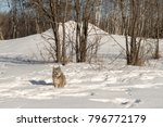 canadian lynx  lynx canadensis  ...   Shutterstock . vector #796772179