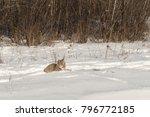 canadian lynx  lynx canadensis  ...   Shutterstock . vector #796772185