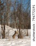canadian lynx  lynx canadensis  ...   Shutterstock . vector #796772191