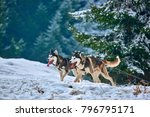 free dog sled racing contest...   Shutterstock . vector #796795171