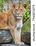 portrait of lioness lies on the ... | Shutterstock . vector #796801879