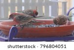 house finches feeding   close...   Shutterstock . vector #796804051