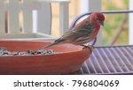 male house finch feeding  ...   Shutterstock . vector #796804069