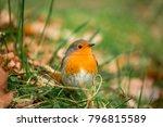 robin redbreast   european... | Shutterstock . vector #796815589
