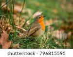 robin redbreast   european... | Shutterstock . vector #796815595