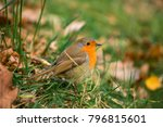 robin redbreast also known as a ... | Shutterstock . vector #796815601