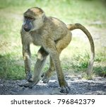 Small photo of Postcard with a funny baboon going somewhere