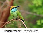 The Green Bee Eater  Merops...