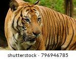 the malayan tiger  panthera... | Shutterstock . vector #796946785