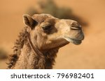 camels in the desert of the... | Shutterstock . vector #796982401