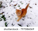 Stock photo red kitten in snow on winter walking beautiful ginger or red kitten on snow winter background 797086069