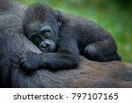 A Gorilla Baby