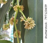 Small photo of The flower of Dracaena ,bloom and smelly fragrant in the evening all night.