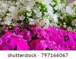 pink and white hydrangea flower.... | Shutterstock . vector #797166067