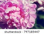 fragrant trendy  peony grows in ... | Shutterstock . vector #797185447