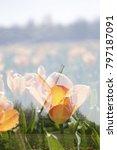 dutch landscape in the spring...   Shutterstock . vector #797187091