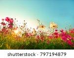 beautiful cosmos flowers... | Shutterstock . vector #797194879