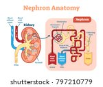 the nephron is the microscopic... | Shutterstock .eps vector #797210779