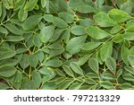 green and fresh leaves of... | Shutterstock . vector #797213329