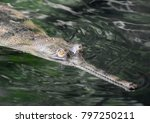 Gharial with a long snout swimming in a river.