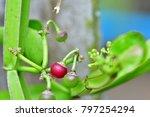 Cissus Quadrangularis  Veld...