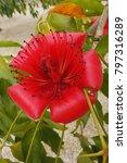 bombay ceiba flower or red silk ... | Shutterstock . vector #797316289