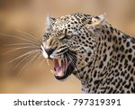 Small photo of Snarling leopard portrait in the Timbavati.