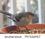 Northern Mockingbird Feeding  ...