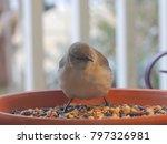 Northern Mockingbird Feeding  ...