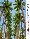 avenue of tall royal palm trees ... | Shutterstock . vector #797376511