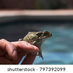 Arizona Desert Toad....