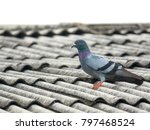 Pigeon Bird Concept. Feral...