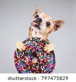 Stock photo cute photo of a funny chihuahua isolated on a gray background eating a giant chocolate doughnut 797475829