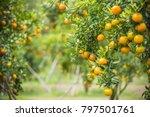orange trees  ripe juicy sweet... | Shutterstock . vector #797501761