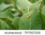 Small photo of In the garden of vegetable. It is alway find problem from pest. Chinese cabbage is the popular one vegetable in Asia. Diamondback moth worm is the first important pest for it.