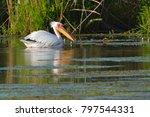 white pelican  pelecanus... | Shutterstock . vector #797544331
