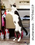 Small photo of A very playful Arabian Mau black and white cate in Dubai jumping up.
