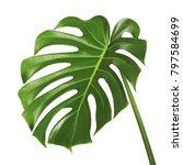 monstera deliciosa leaf or...   Shutterstock . vector #797584699
