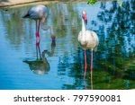 greater flamingo in the pond | Shutterstock . vector #797590081