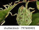 Sawfly larvae on rose leaf.