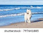 white dog samoyed walks near...   Shutterstock . vector #797641885