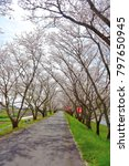 the cherry blossoms which bloom ... | Shutterstock . vector #797650945